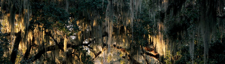 Louisiana Oak Trees and Spanish Moss
